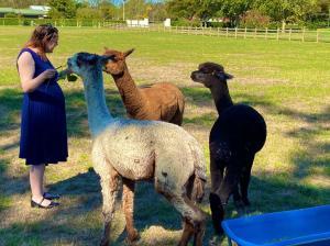 Day_8-_alpacas[1]